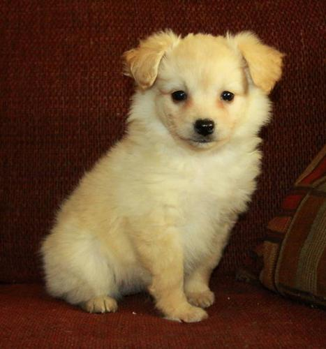 Gorgeous Pom Poo Puppies! (Pomeranian x Toy Poodle) for sale in ...