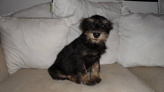 miniature schnauzer/ yorkie mix for sale in Hamilton, Ontario - Your ...