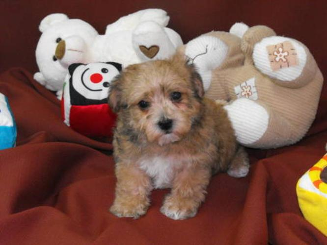 NON-SHEDDING, Small, Bichon Frise x Yorkshire Terrier for sale in Olds ...