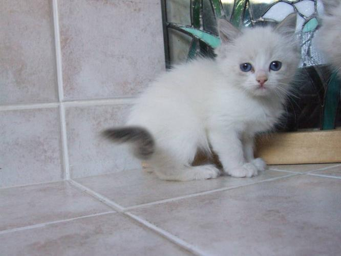 Registered Ragdoll Kittens in Hanna, Alberta For Sale