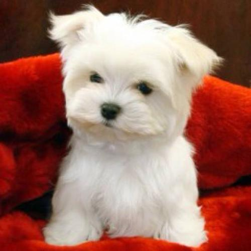 Tiny toy and Toy Maltese Puppies in Toronto, OntarioFor Sale